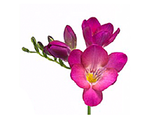 Freesias — pink