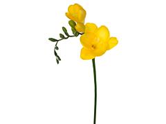 Freesias — yellow
