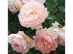 Garden Rose Anice Antique