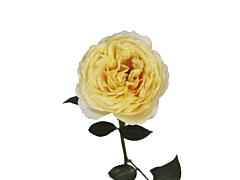 Garden Rose Ivory Piaget (Caramel)