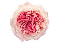 Garden Rose Mayra Bridal
