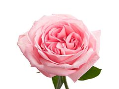 Garden Rose Pink O'Hara