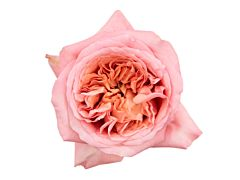 Garden Rose pink xpression