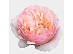 Garden Rose Princess Charlene