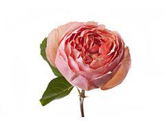 Garden rose Salmasanar