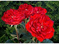 Garden Rose Sarmacanda