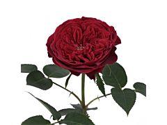 Garden Rose Tess