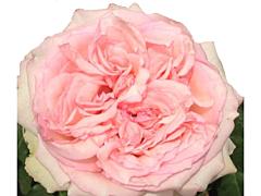 Garden Rose Wedding Kiss