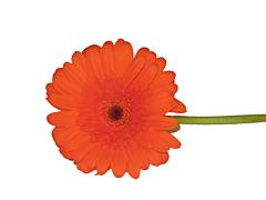 Gerbera Daisy — orange