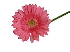 Gerbera Daisy — pink