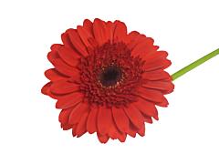 Gerbera Daisy — red