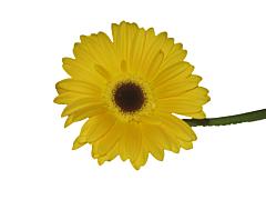 Gerbera Daisy — yellow
