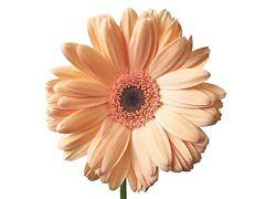 Gerbera Daisy — peach