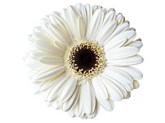 Gerbera Daisy — white