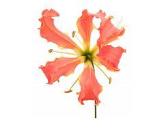 Gloriosa Lily Orange