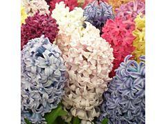 Hyacinth Assorted