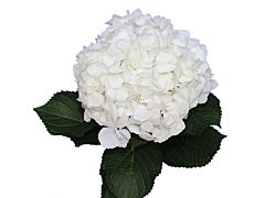Hydrangea White Antique
