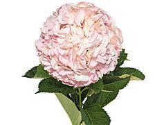 Hydrangeas Natural Pink