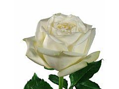 White Rose Polo