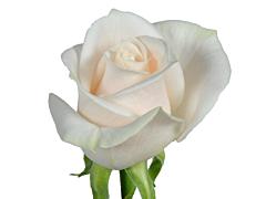 Ivory Rose 40 cm  Vendela