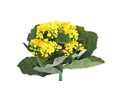 Kalanchoe Yellow