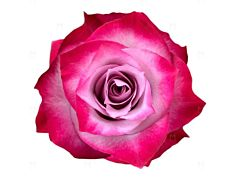 Lavender Rose Deep Purple