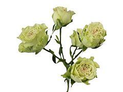 Spray Roses Super Green