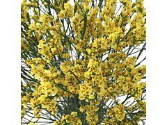 Limonium Yellow