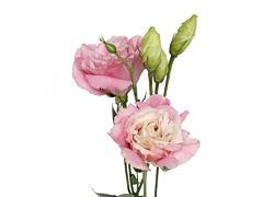 Lisinthus - pink