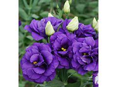 Lisinthus - purple