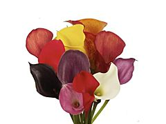 MIni Calla Lily 35 cm Assorted
