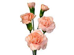 Mini Carnation Peach