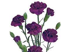 Mini Carnation Purple
