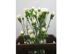 MIni Carnation White