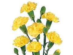 Mini Carnation Yellow