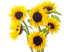 Mini sunflowers - Black Center
