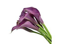 Mini Calla Lily Purple  Petite