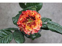Garden Rose Fuego