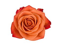 Orange Rose Orange Crush