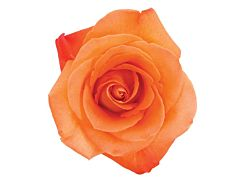 Orange Rose Voodoo