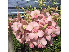 Dendrobium Peach / Blusk pink