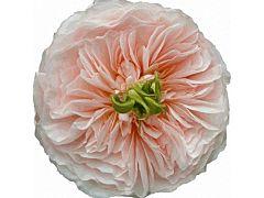 Garden Rose Charity