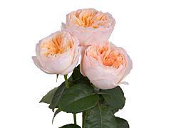 Garden Rose Juliet