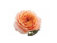 Garden Rose Mayra Peach