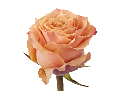 Peach rose Carpediem