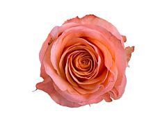 Peach rose Coral Reef