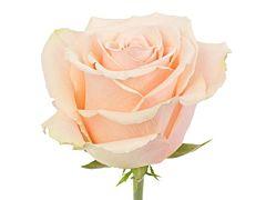 Peach rose Primavera