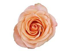 Peach rose Tiffany