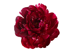 Peonies - red