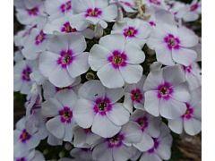 Phlox Bi-color white& purple